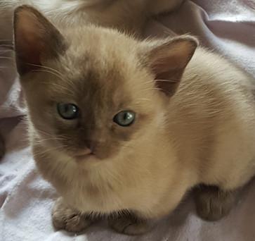 adoptable burmese kitten