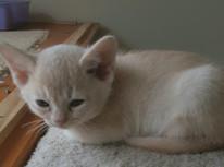 light colored burmese kitten