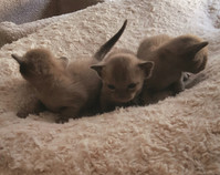 baby burmese kittens for adoption