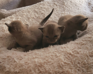 baby burmese kittens for adoption