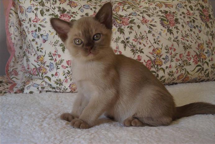 adoptable burmese kittens