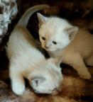 burmese babies for adoption