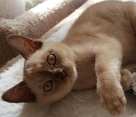 burmese kitten for adoption