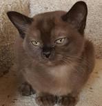 chocolate burmese kitten for adoption