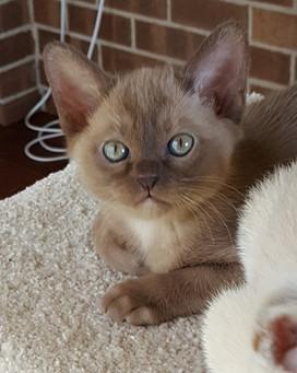 light chocolate burmese kitten