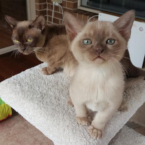 adopt a burmese kitten