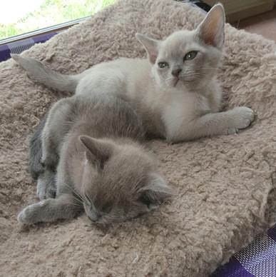 melbourne burmese kitten breeders