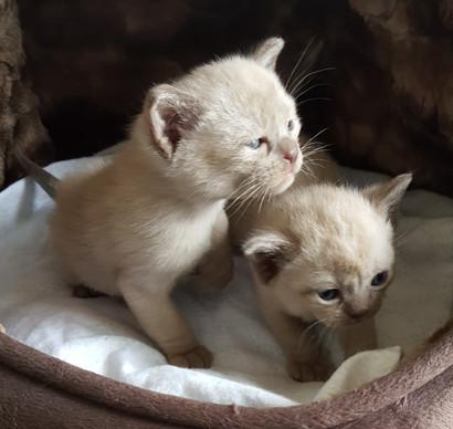 cream colored burmese kittens