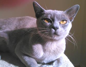 Burmese breeder Sylvi