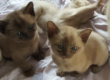 burmese kittens for adoption