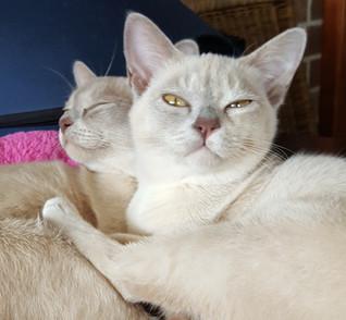 lilac burmese queens melbourne