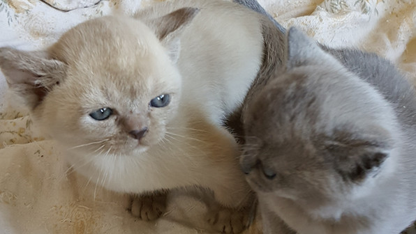 lilac and blue burmese cats