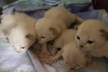 baby burmese kittens melbourne