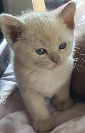 adopt a Burmese