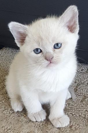 lilac burmese kitten