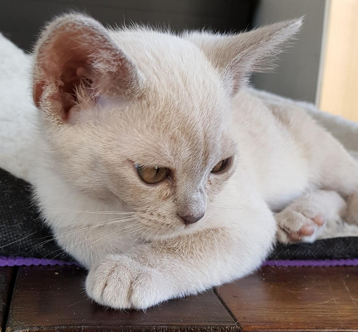 burmese kittens melbourne