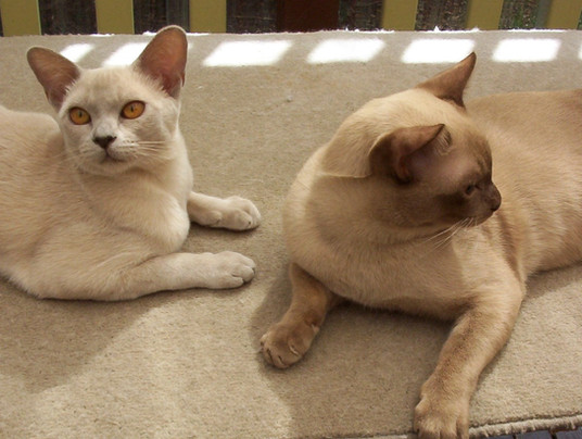 burmese breeder queens