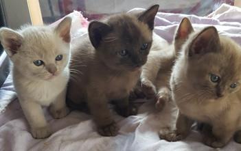 burmese kitten litters melbourne