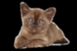 Burmese kitten breeder melbourne