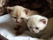 cream burmese kitttens adopt