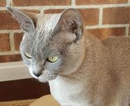 burmese cat breeder queen