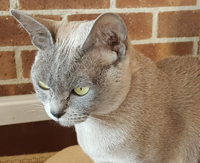 burmese cat breeder queen