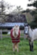 Les Petites Écuries 78 chevaux et poney enseignement pension balade loisir competition vente