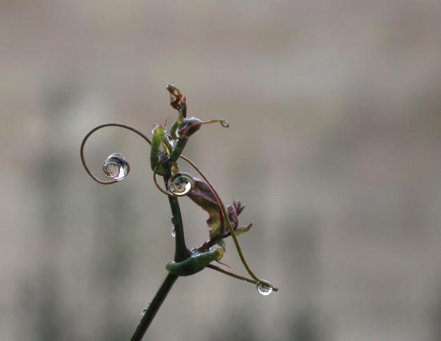 Wild Passiflora
