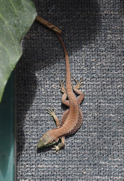 A Thoughtful Lizard