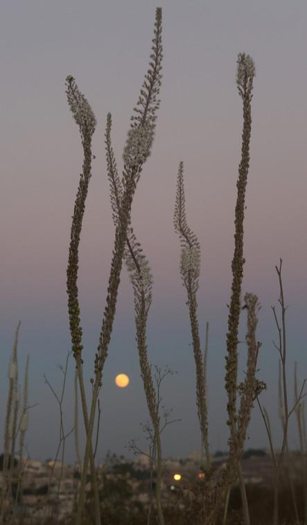 Drimia and the Moon