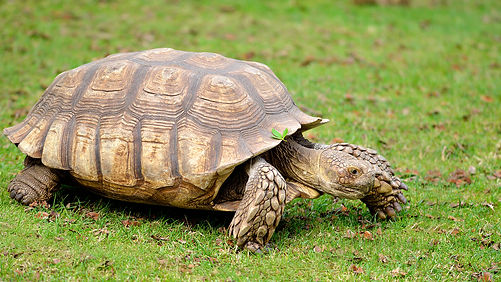 animals_hero_african_spurred_tortoise.jp