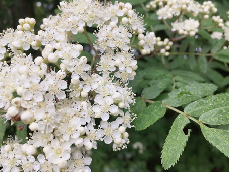 From Flower to Refreshing Drink: a step-by-step guide on how to make Elderflower Cordial