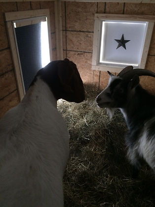 goats inside goat house