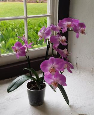 Orchid in Side Window