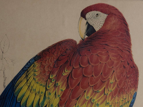edward lear parrot lithograph in bronze frame