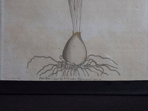 18th Century Botanical Print William Curtis
