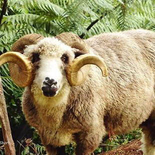 Mount Tutu Sheep #sheep #heritagesheep #
