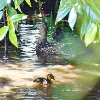 Native New Zealand Grey Duck #newzealand