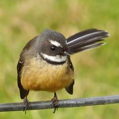 #Fantail #birdsofinstagram #birdphotogra