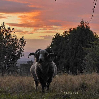 #sheep #heritagesheep #cute #farmstay #b