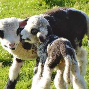 #sheep #heritagesheep #travel #ecotouris