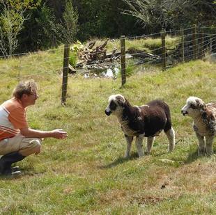 Hi Dad!! #mounttutusheep #sheep #lambs #