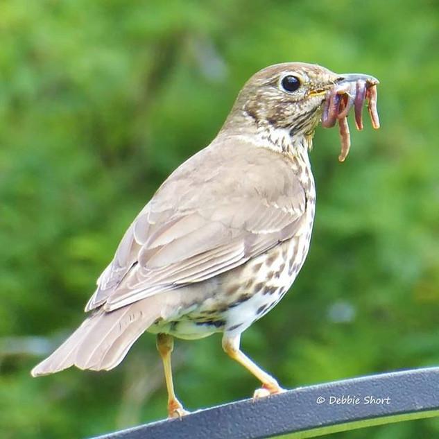 #thrush #birdphotography #your_best_bird