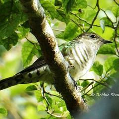#shiningcuckoo #allmightybirds #bestbird