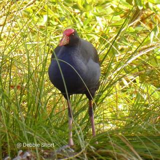 #pukeko #birdphotography #wildlifephotog