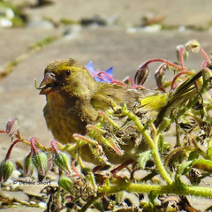 Greenfinch just loving the borage seeds