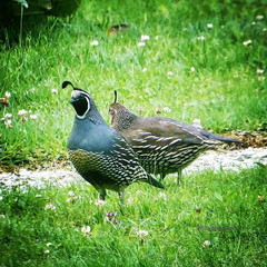 #californiaquail #birdphotography #your_