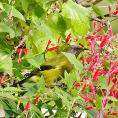 New Zealand Bellbird or Korimako enjoyin