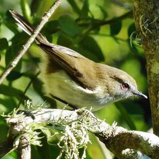 Cute Grey Warbler #greywarbler #bird #bi