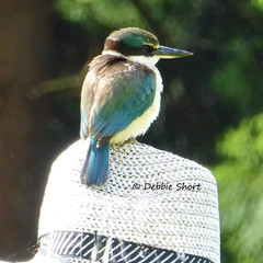 Kingfisher or Kotare.jpg